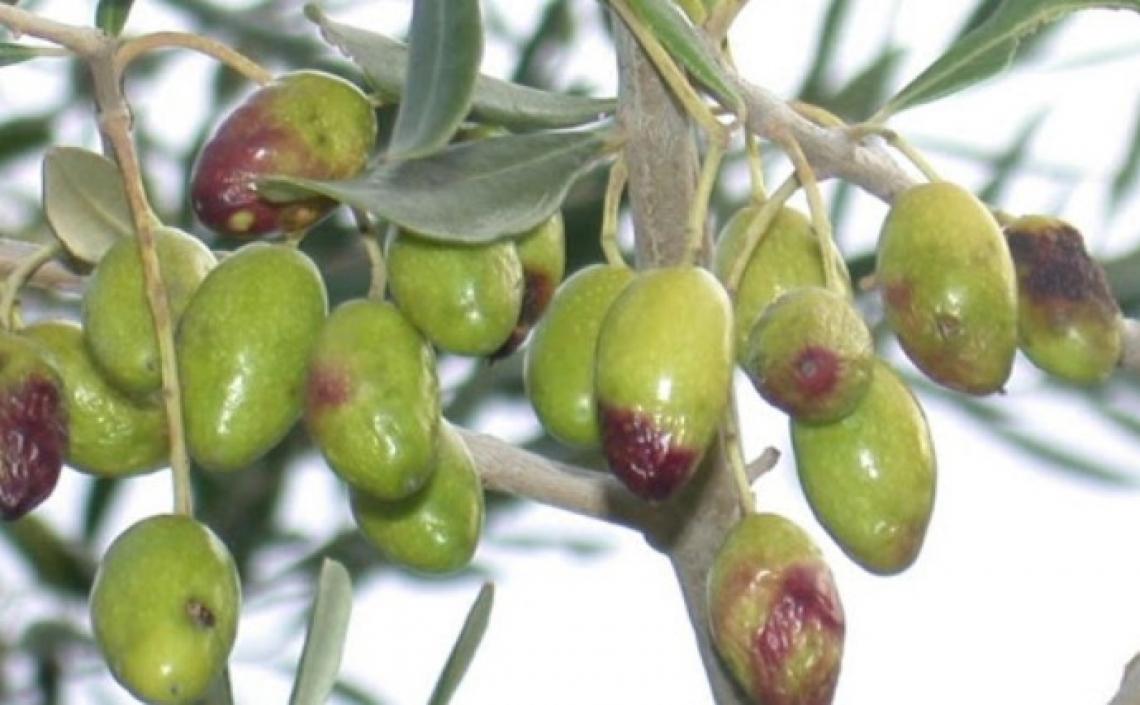 L'influenza di un attacco di mosca su acidità, perossidi, K232 e K270 dell'olio vergine d'oliva