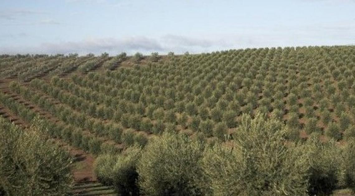 Gli oliveti delle aziende imbottigliatrici sono operazioni di ingegneria finanziaria