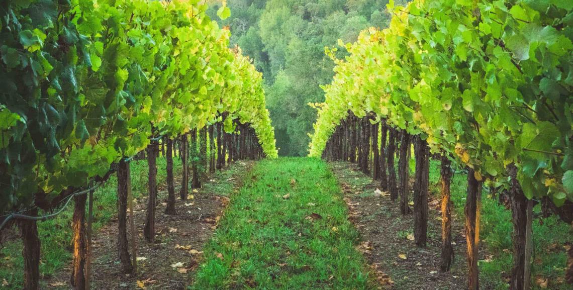 Ridurre i fitofarmaci grazie ai vitigni resistenti