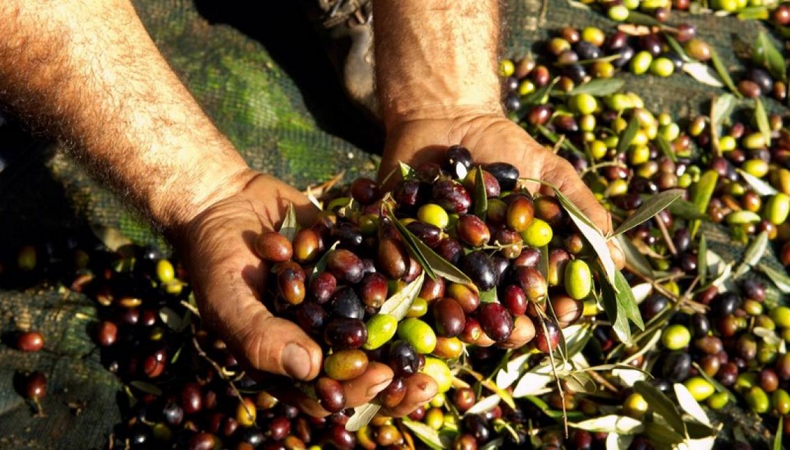 Produzione di olio d'oliva in Italia sotto le 300 mila tonnellate: male il Sud