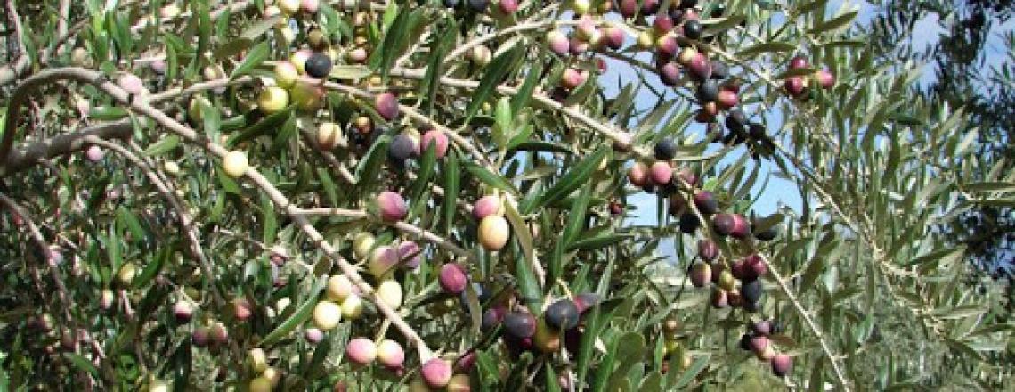 L'Arbequina non sempre potrebbe rispettare i parametri per essere olio extra vergine di oliva