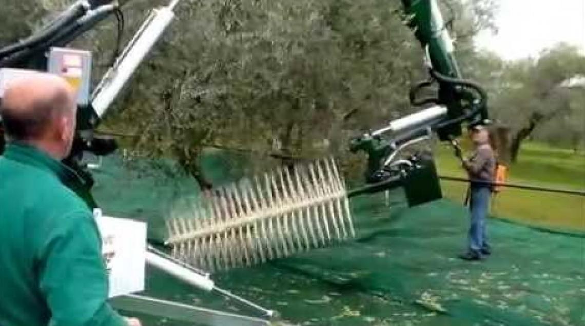 La raccolta meccanica delle olive su alberi centenari è economicamente conveniente