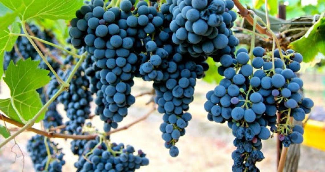 Ritardare la potatura manuale del Sangiovese per migliorare la qualità del vino