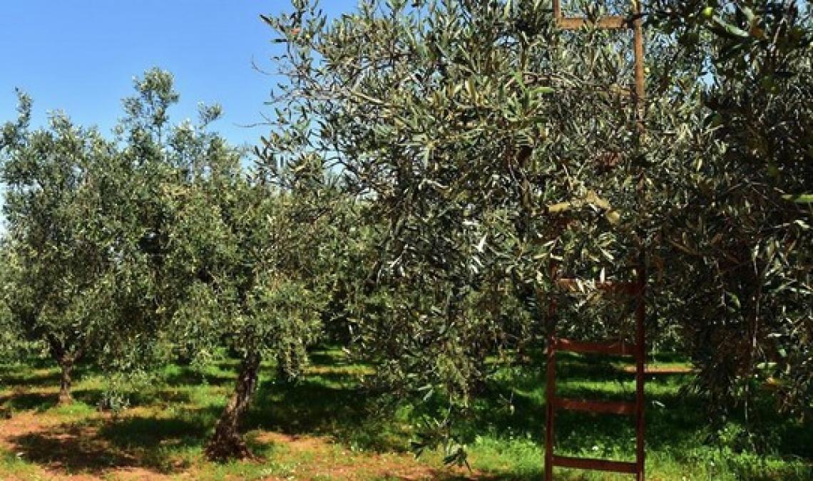 L'olio extra vergine d'oliva  lucano Igp è stato registrato sulla Gazzetta Europea