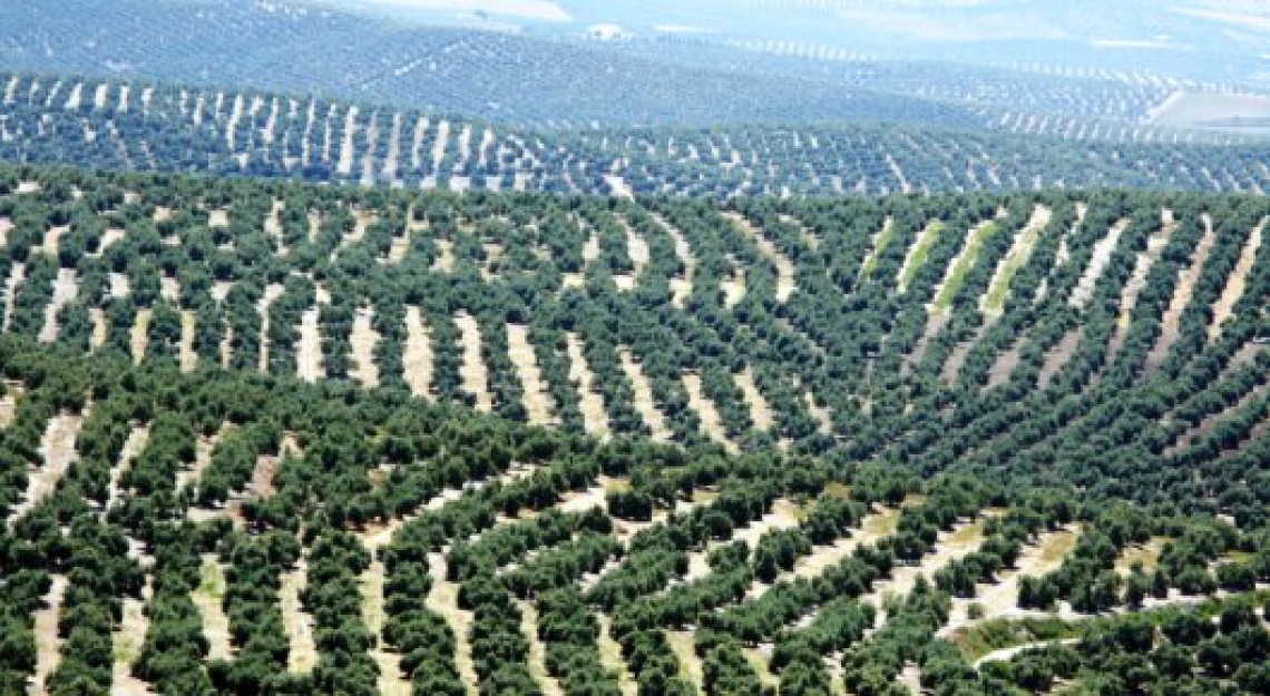 Al minimo storico i prezzi delle olivete in Spagna