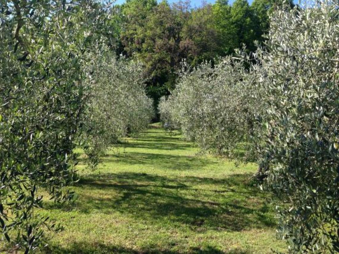 L'influenza della concimazione azotata su mosca, occhio di pavone e lebbra dell'olivo