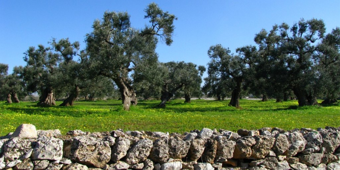 Troppi ritardi e inadempienze danneggiano l'olivicoltura pugliese