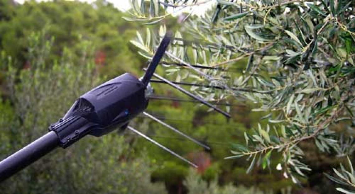 Utilizzare gli ormoni per aumentare l'efficienza e la produttività di raccolta delle olive