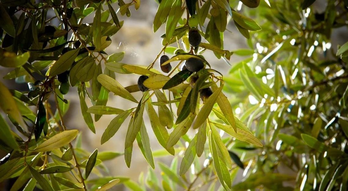 Un eccesso di azoto può compromettere la qualità dell'olio extra vergine d'oliva