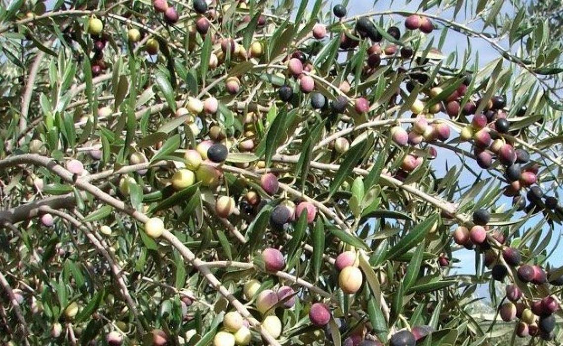 Determinazione dell'idrossitirosil oleato in oli extra vergine d'oliva