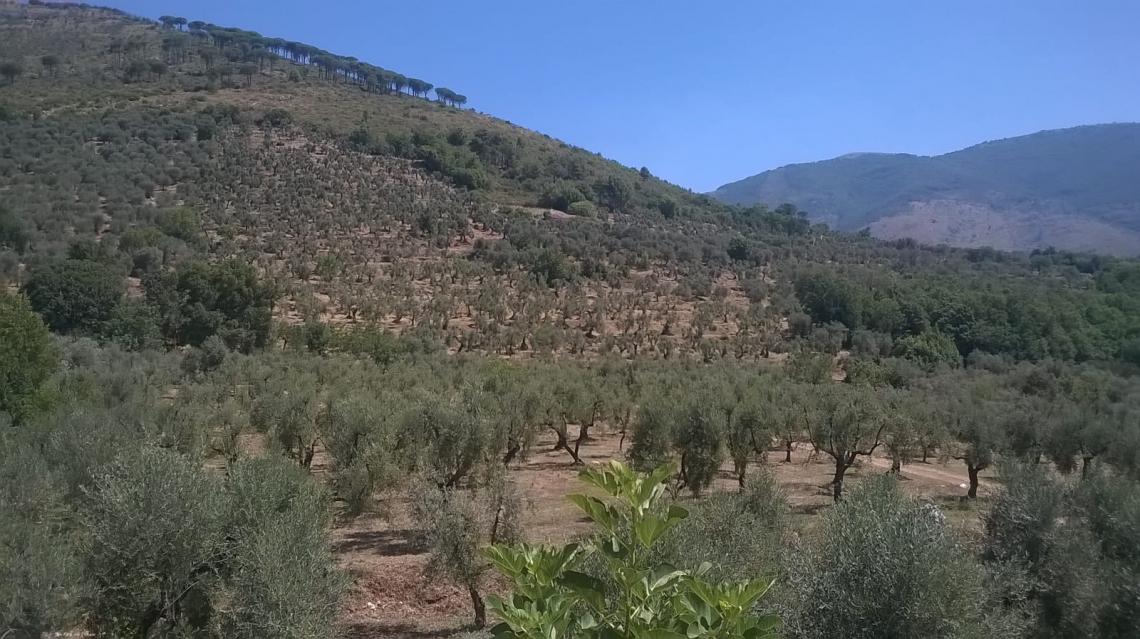 La difficile annata per l'olivicoltura della provincia di Latina