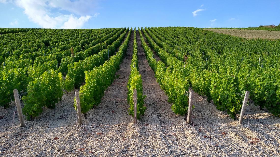 Dosi e modi di applicazione della fertilizzazione fogliare con urea su Sauvignon Blanc e Merlot