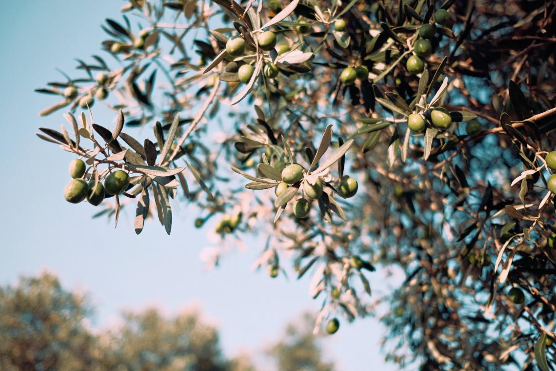 L'influenza, su resa e composizione dell'olio extra vergine d'oliva, del periodo di raccolta e della posizione delle olive sulla chioma