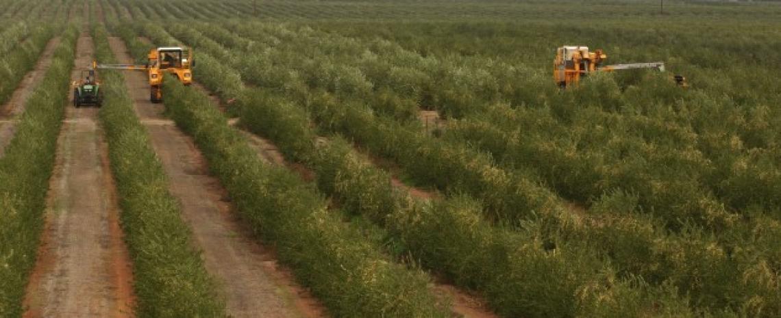 Le caratteristiche qualitative degli oli di Arbequina, Arbosana e Koroneiki negli oliveti superintensivi