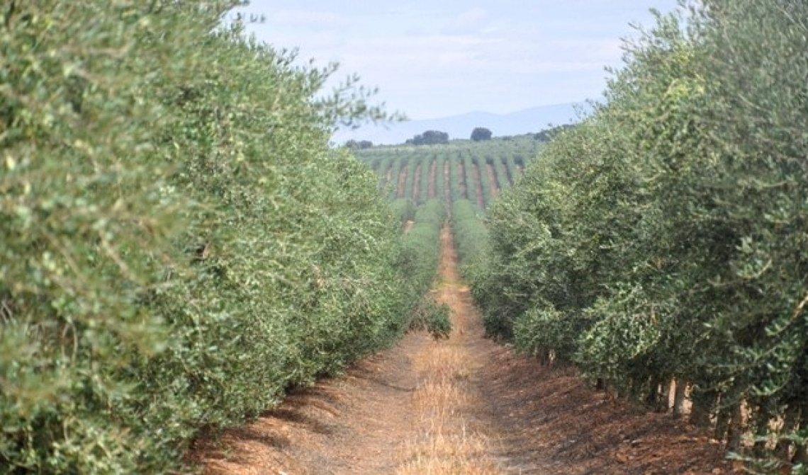 Fallisce il Progetto Elaia per l'oliveto più grande al mondo