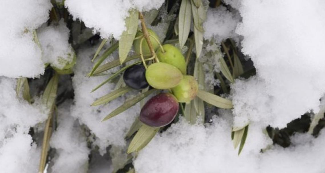 I danni da freddo sulle olive e le conseguenze sulla qualità dell'olio extra vergine