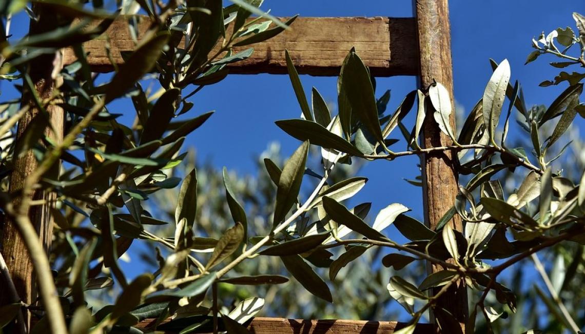 L'olivo sono radici ma anche futuro, indispensabile celebrarne la grandezza