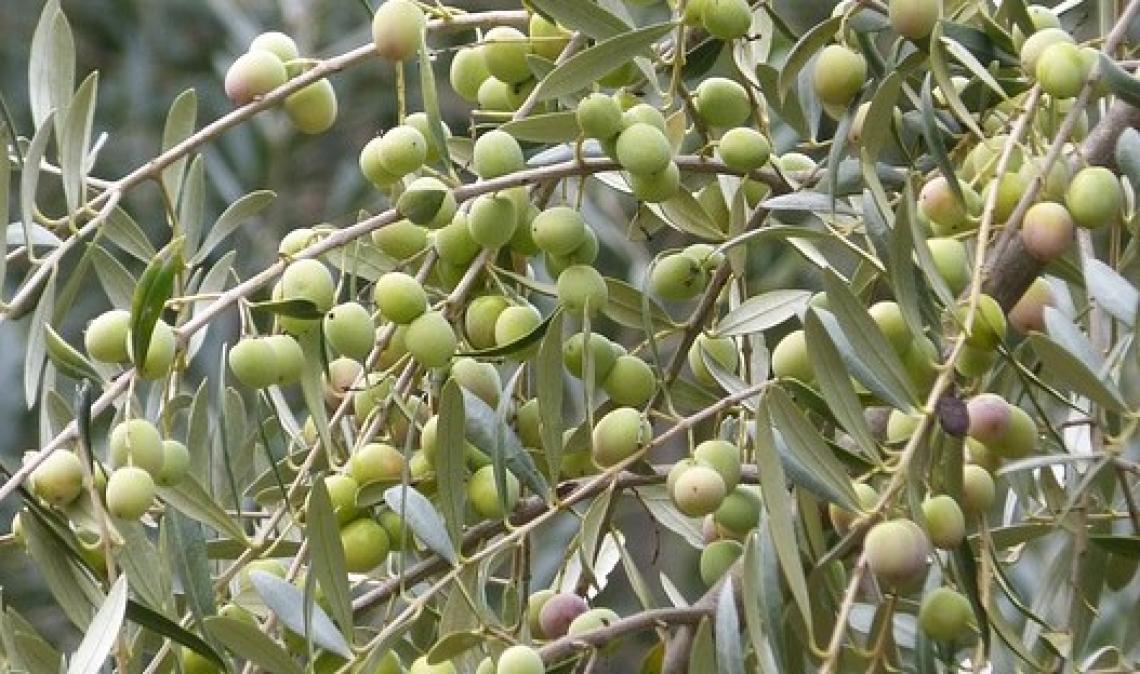 L'alternanza di produzione dell'olivo frutto dei cambiamenti climatici