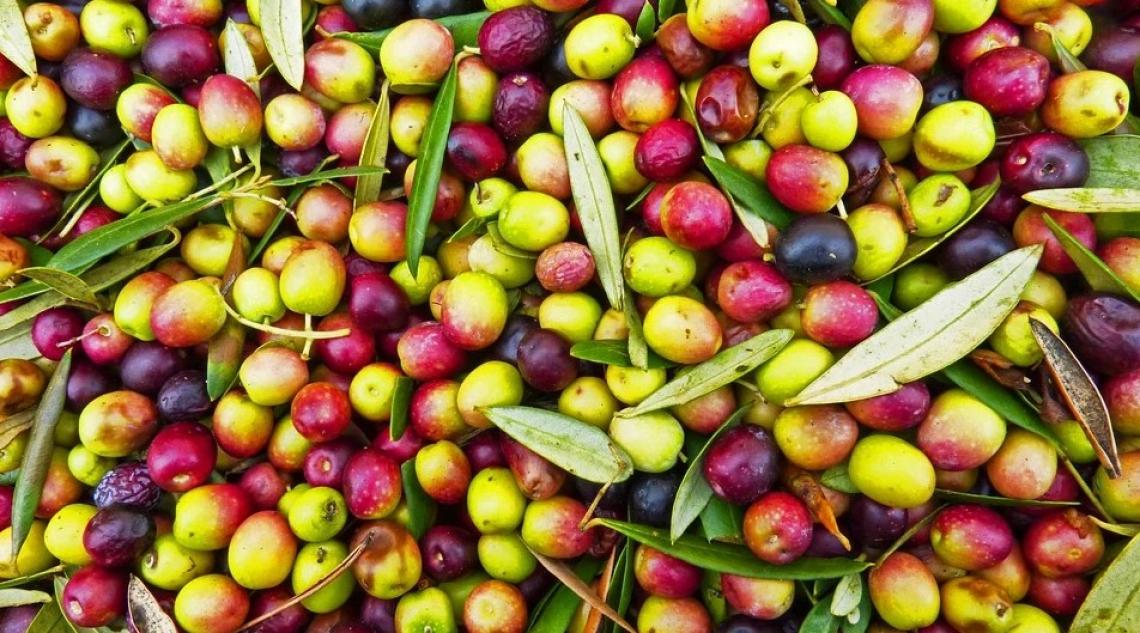 L'irrigazione insufficiente durante la sintesi dell'olio ha ridotto il contenuto di fenoli nell'extra vergine