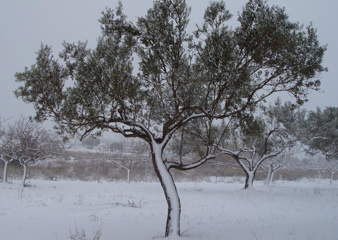 Occorre preparare gli olivi all'inverno con adeguati trattamenti