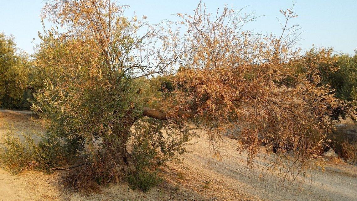 I fungicidi che causano la morte di Verticillium dahliae, agente della verticilliosi dell'olivo