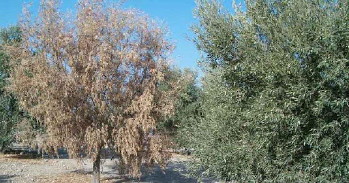Trovati i geni coinvolti nella resistenza alla verticillosi dell'olivo