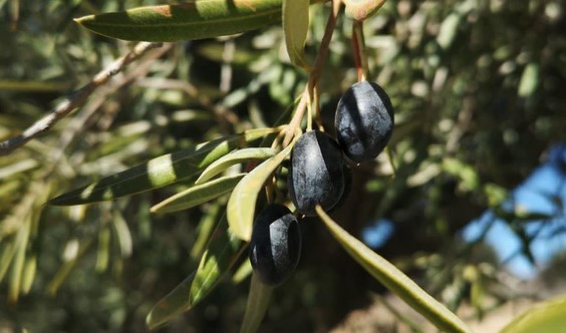 L'influenza della coltivazione biologica sulle caratteristiche chimiche e sui composti volatili dell'olio extra vergine d'oliva