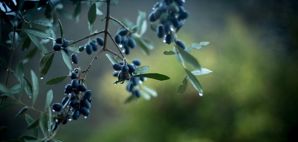 Il costo di produzione dell'olio d'oliva andaluso da 1,73 a 4 euro/kg