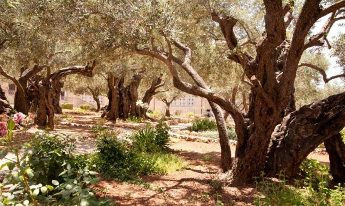 Alla ricerca di simboli e radici: Getsemani, il giardino degli olivi e del frantoio