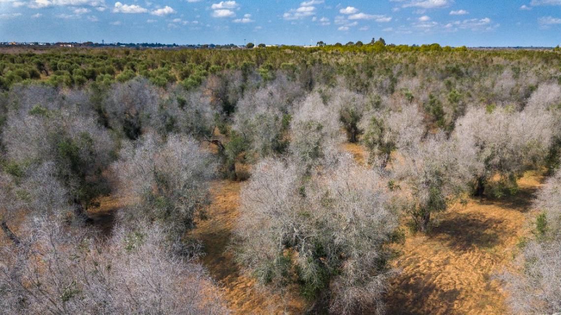 Allarme per il ritrovamento di piante infette da Xylella a Canosa