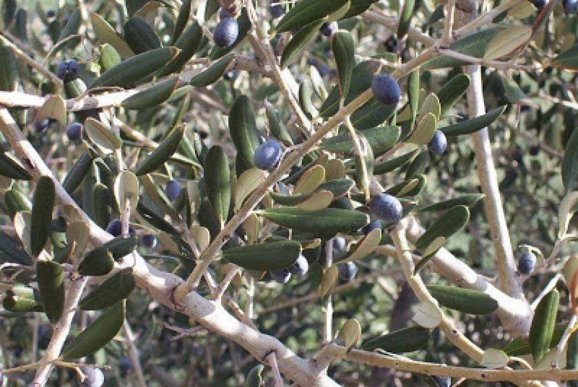 Rivalutare il ruolo degli olivastri nella produzione di olio extra vergine d'oliva
