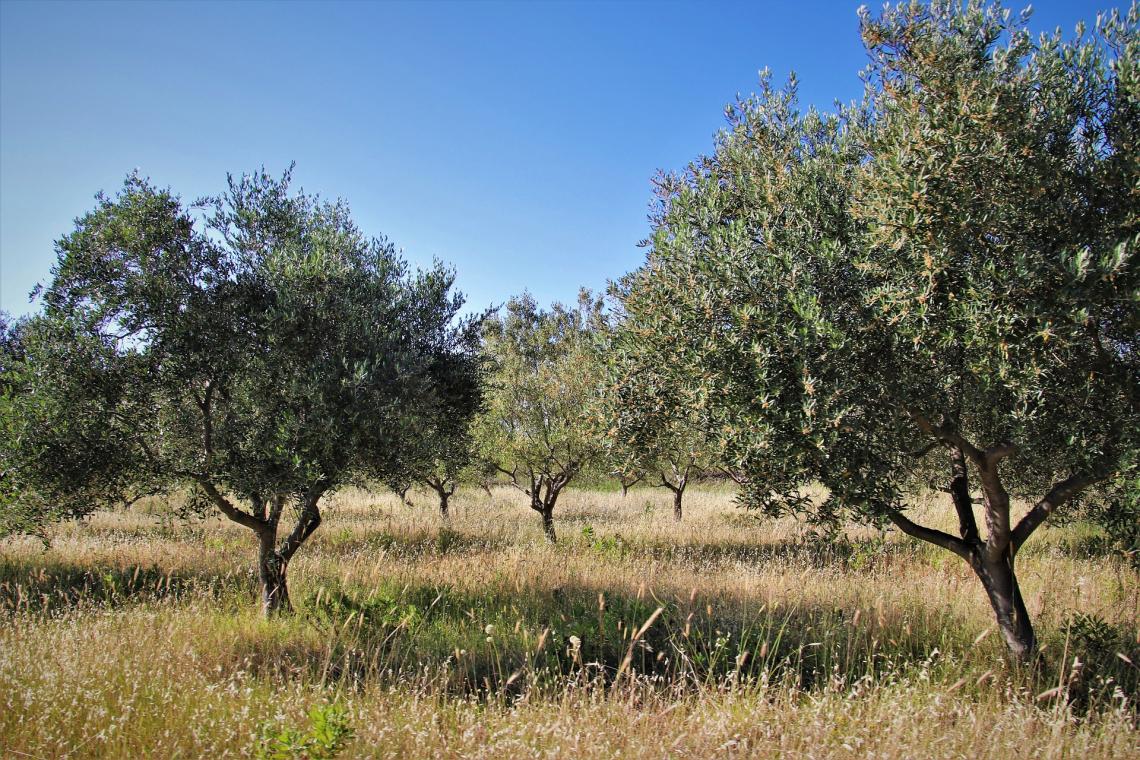 La pacciamatura dell'oliveto con residui di potatura aumenta la sostanza organica del suolo