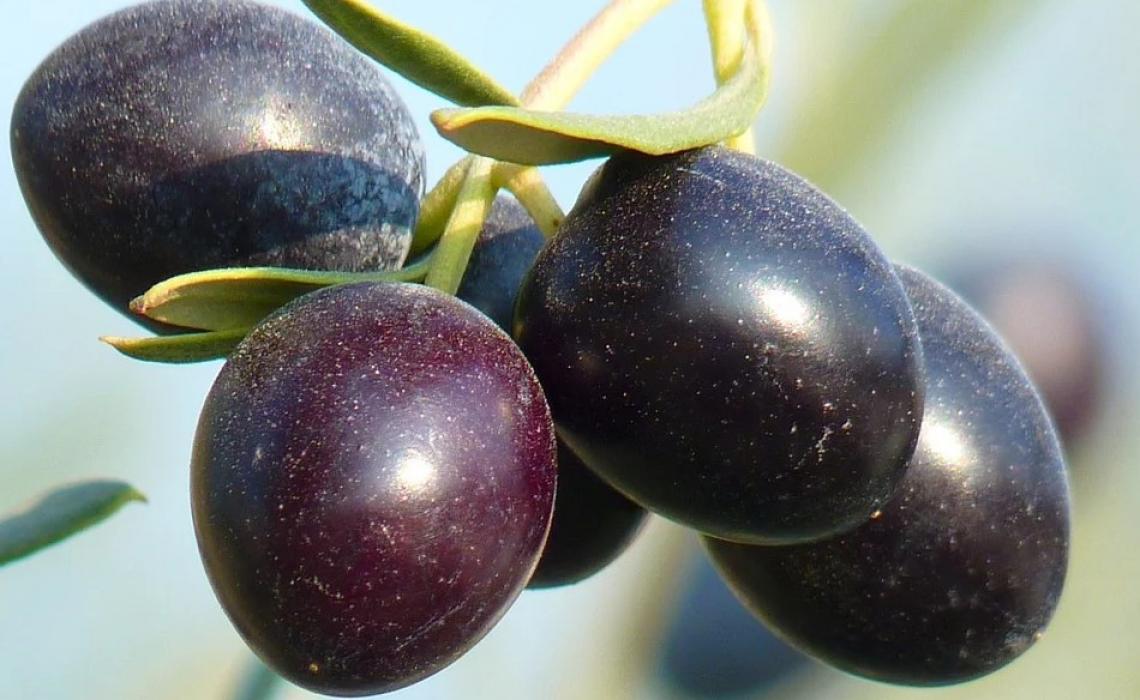 L'impollinazione artificiale sull'olivo è una risposta alle basse produttività?