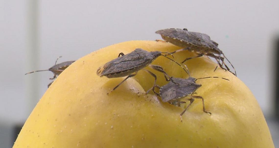 La sperimentazione della lotta contro la cimice asiatica con la vespa samurai dimostra di funzionare