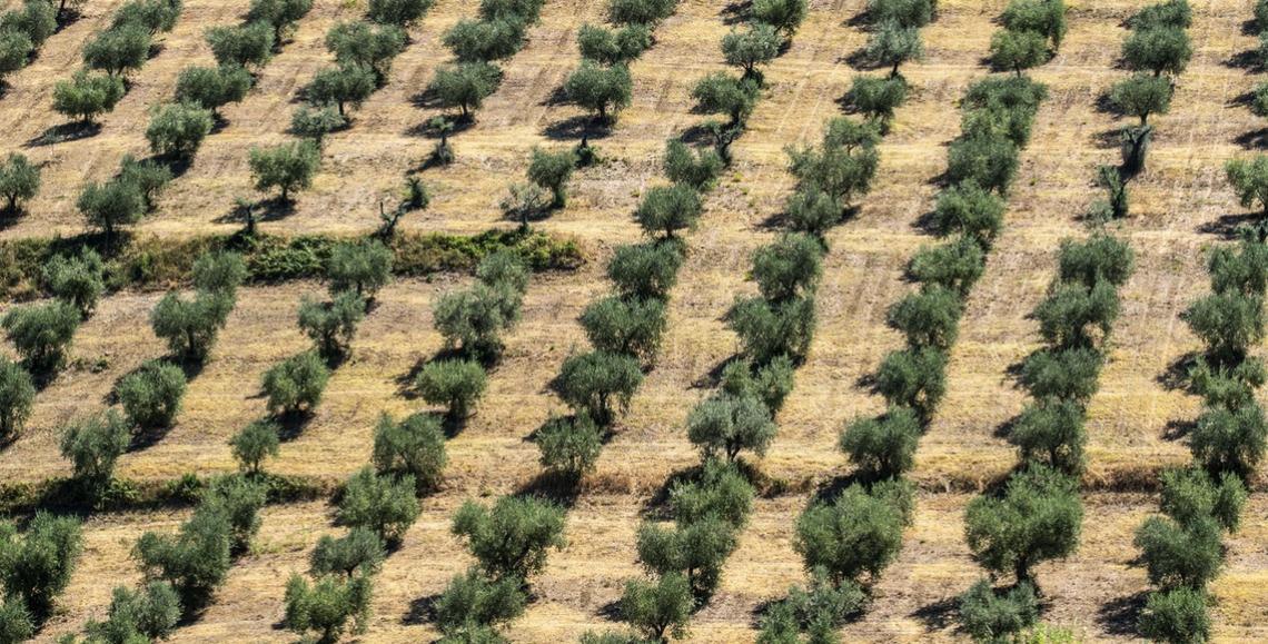 Gli olivi si insediano anche alle Mauritius, nel Regno Unito e Germania