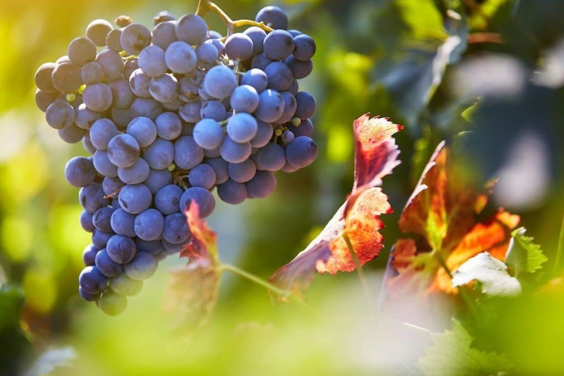 L'influenza della potatura tardiva sulla qualità delle uve e vini Shiraz