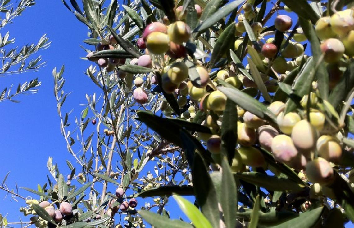 L'influenza di densità di impianto e cultivar sulla qualità dell'olio extra vergine d'oliva