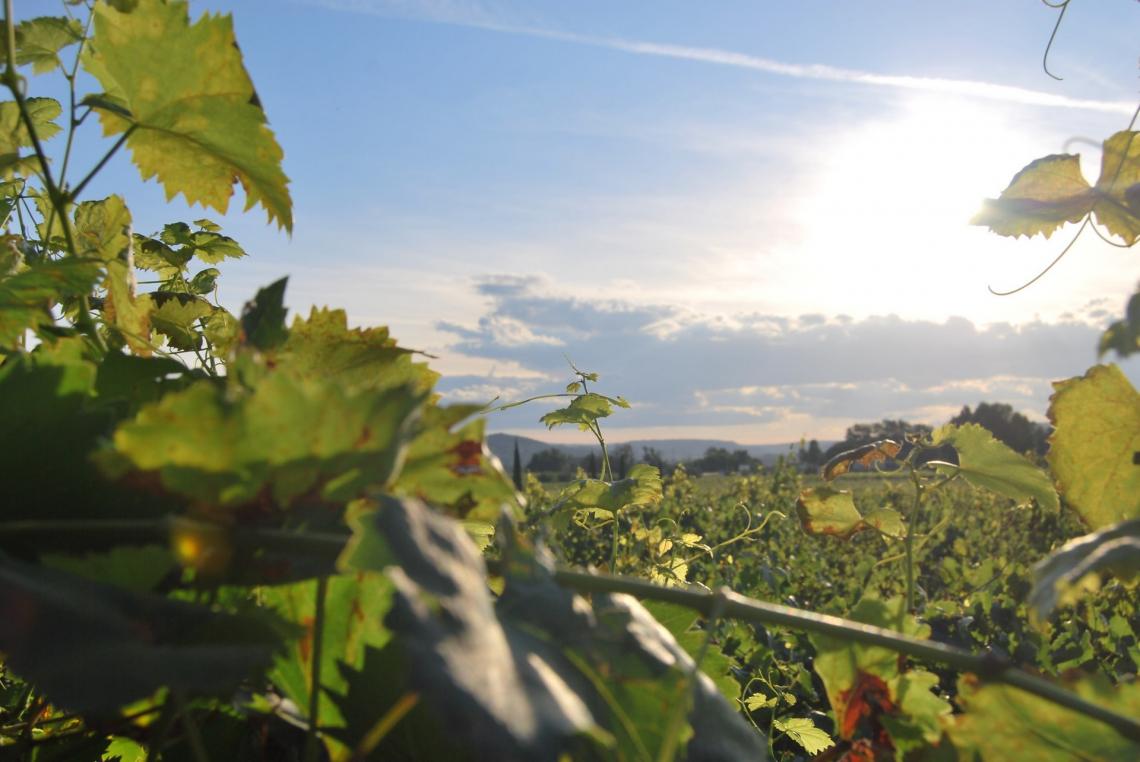 Vigneti a bassa densità per aumentare la resistenza alla siccità con i cambiamenti climatici