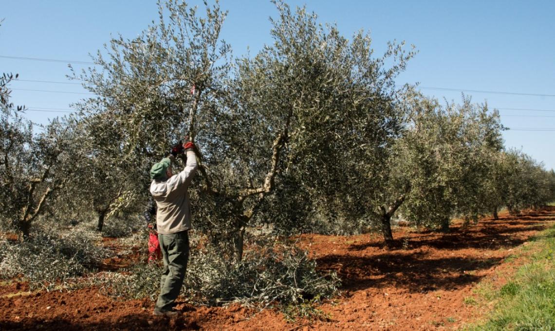 L'influenza dell'epoca e dell'intensità di potatura su crescita vegetativa e resa in olio delle olive