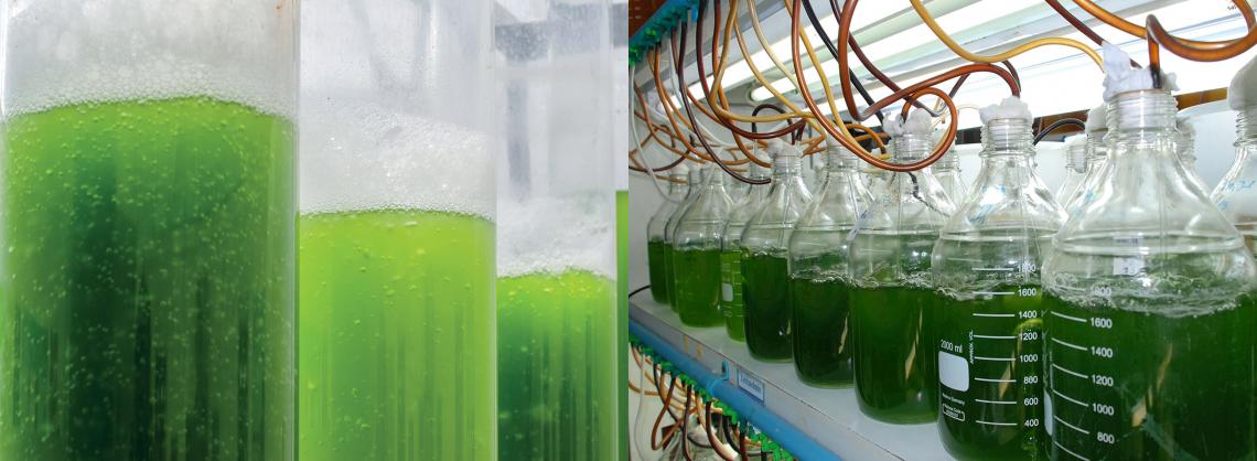 Dalle acque reflue dei frantoi alle microalghe per una biomassa promettente