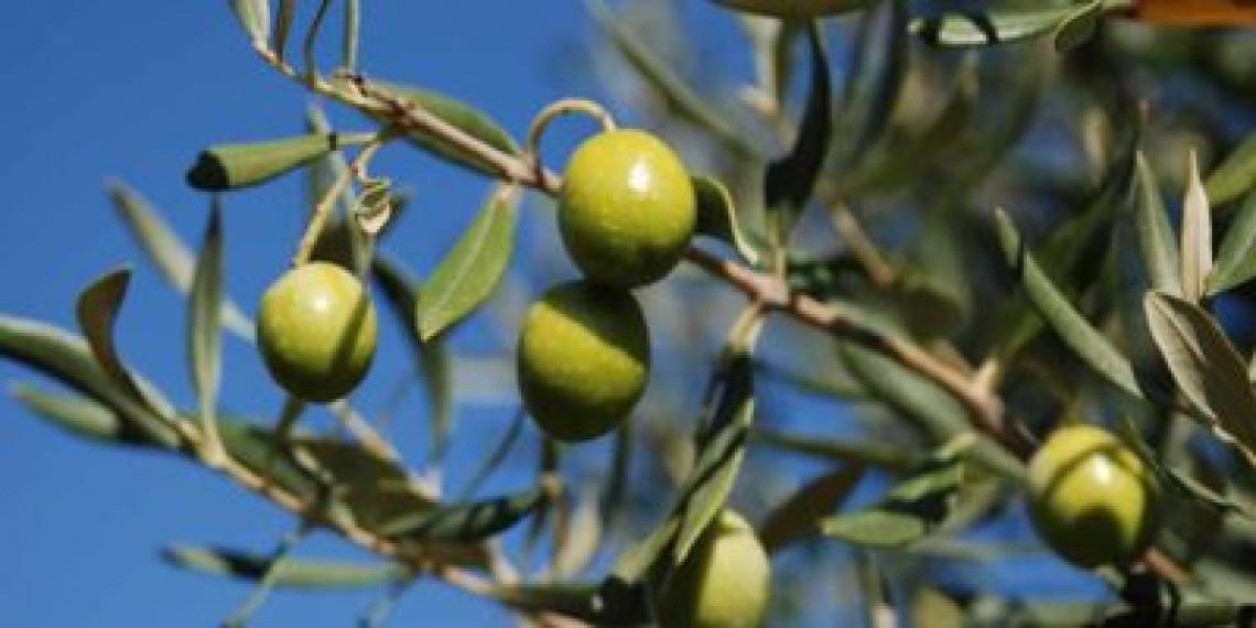 Trattare con boro già in inverno per massimizzare la produzione di olive
