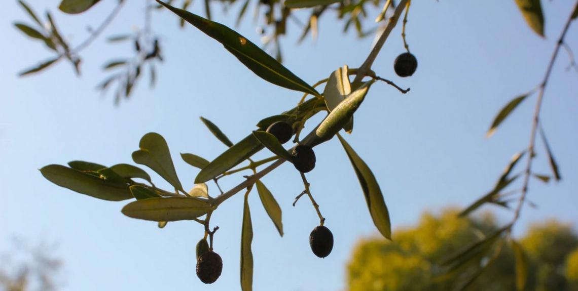 Utilizzare alghe marine e aminoacidi per migliorare le caratteristiche delle olive e la resa in olio
