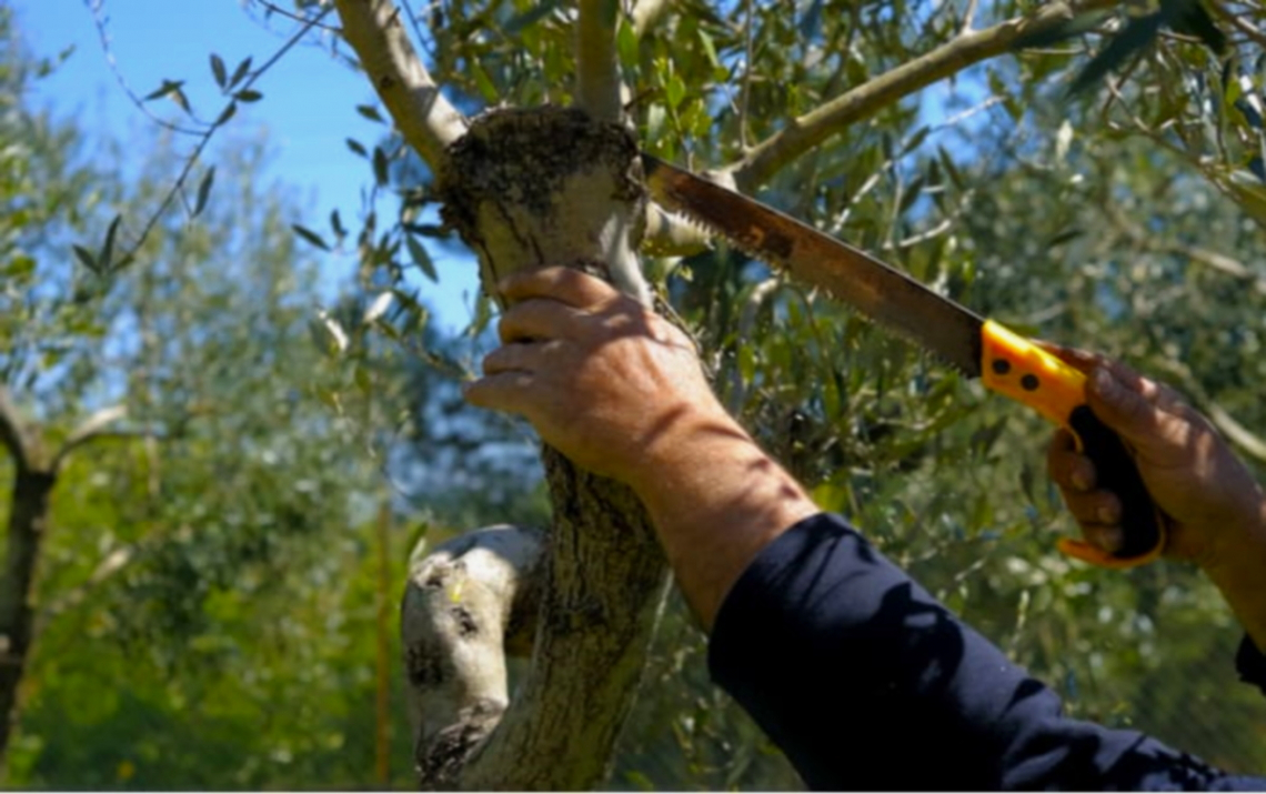 Gli inviolabili nove principi della potatura dell'olivo: oltre i miti e il passaparola c'è la scienza
