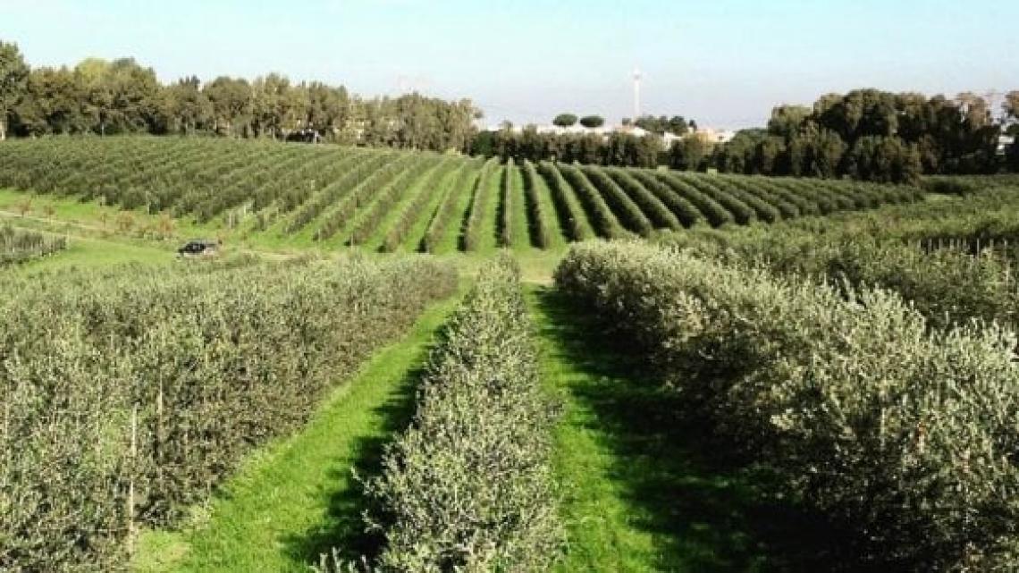 Un piccolo stress idrico in primavera e inizio estate compromette la produttività degli oliveti superintensivi