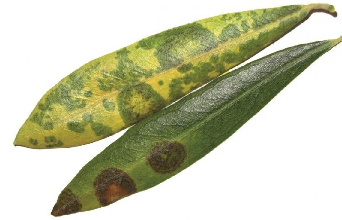 Un estratto vegetale naturale per combattere l'occhio di pavone dell'olivo