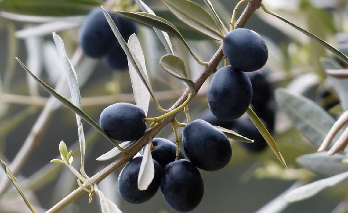Azoto nano-chelato o urea? Ecco quale fertilizzante migliora più produttività e qualità dell'olio d'oliva