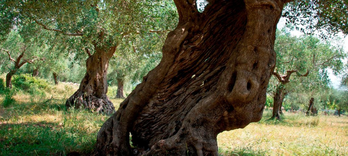 Il racconto di un territorio che vive con gli olivi e per gli olivi
