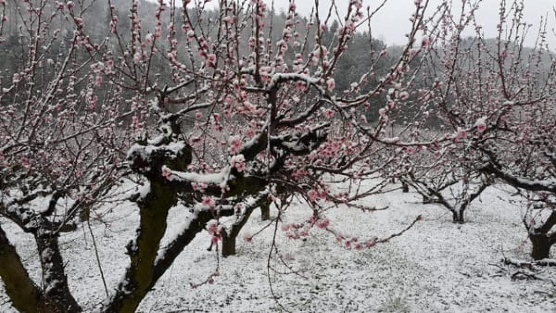 Gravissimi danni alla frutticoltura italiana a causa dell'ondata di gelo