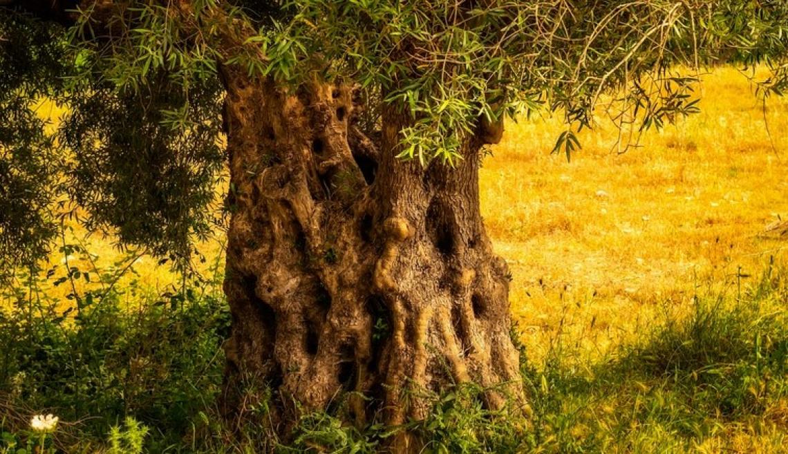 L'influenza dell'età degli olivi sulle caratteristiche chimiche dell'olio extra vergine d'oliva