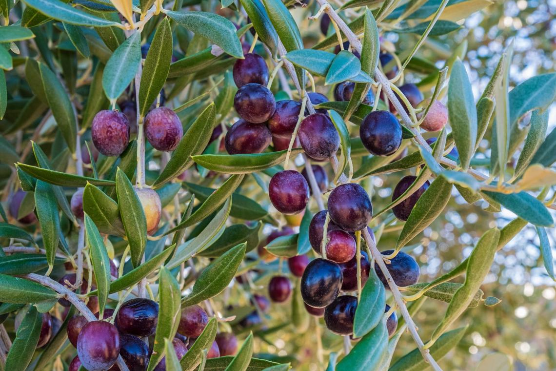 Diventa possibile prevedere il contenuto in olio dell'oliva al momento della raccolta già dall'inizio della fase di inolizione del frutto